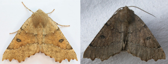 Industrial melanism, tan and near-black versions of the scalloped hazel moth, Odontopera bidentata